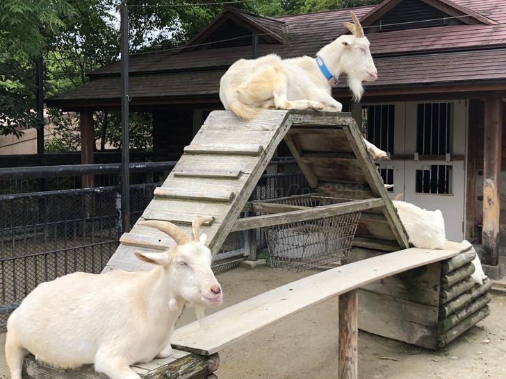 山羊の上下関係